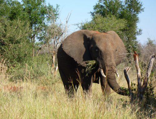 Safari del 1, Sydafrika - Madikwe 2
