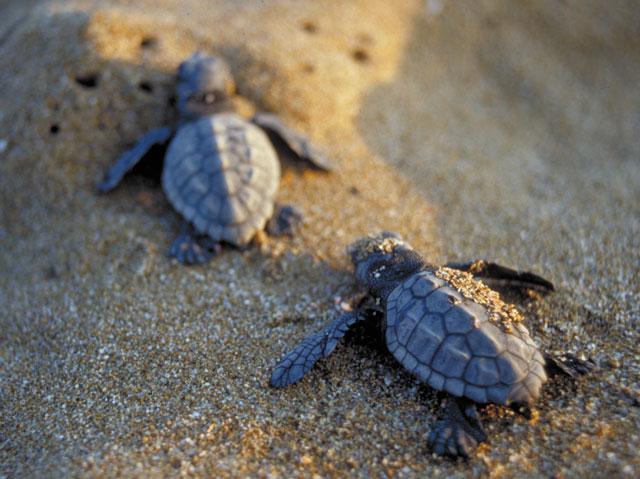 Bäbissköldpaddor