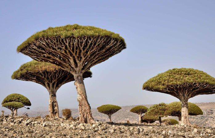 drakblodsträd