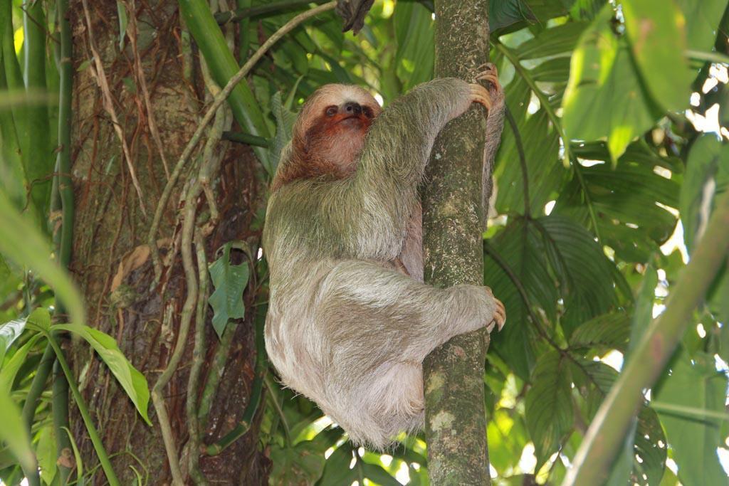 Sloth in Tortuguero