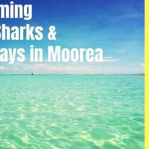 Simma med hajar och rockor på Moorea 37