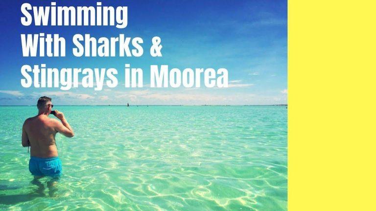 Simma med hajar och rockor på Moorea